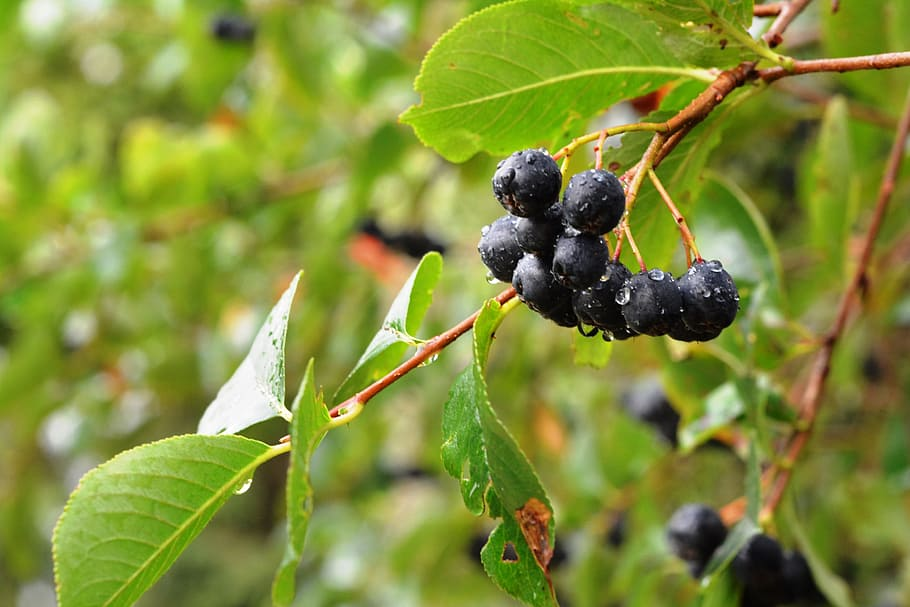 aronia-aron-fruit-after-the-rain